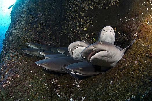 Sharks by David Valencia