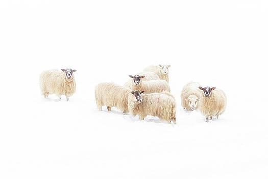 Sheeps II by Scott Masterton