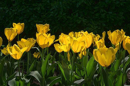 Dana Sohr - Sherwood Garden Tulips - Baltimore