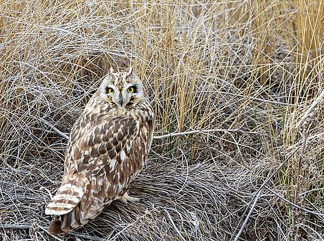 Short Eared Owl by Michael Chatt