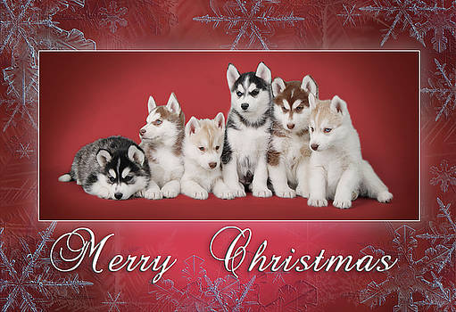 Siberian Husky Christmas card by Waldek Dabrowski