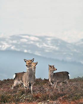 Sika Deer by Gavin Macrae