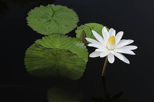 Single White Water Lily by Dennis Kowalewski