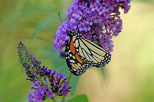Debbie Oppermann - Sipping Nectar