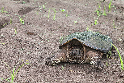 Snapping Turtle by Bethany Benike