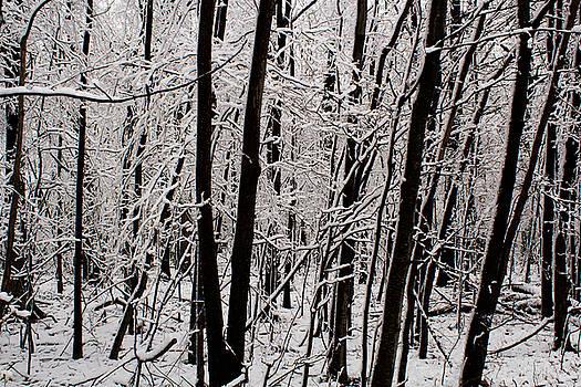 Snow and Trees by Amanda Kiplinger