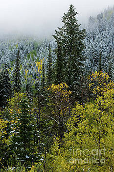 Snow - Aspen - Pine - Winter Fog - Wasatch Mountains by Gary Whitton