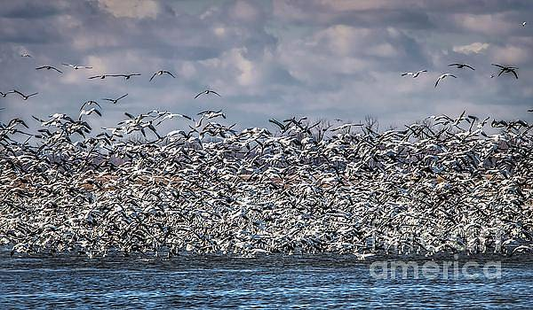 Snow Geese in Flight by Lisa Plymell