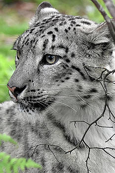 Snow Leopard by Kuni Photography