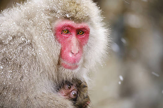 Snow Monkey Mother and Child by Rich Legg
