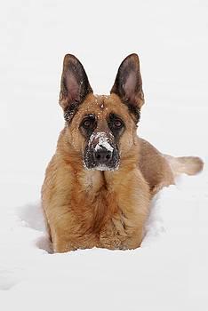 Snow Portrait Of A German Shepherd Dog by Angie Tirado