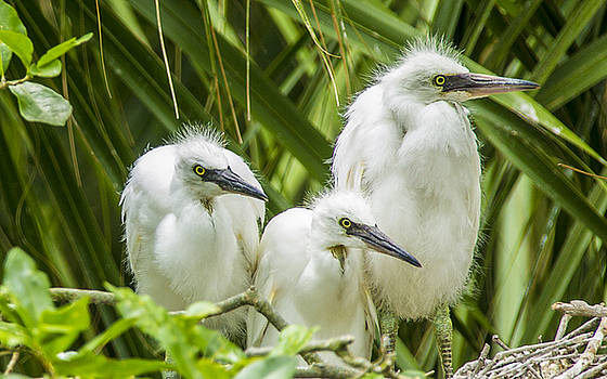 Snowy Egret Chicks by Paula Porterfield-Izzo