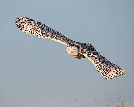 Snowy Owl by Christopher Ciccone
