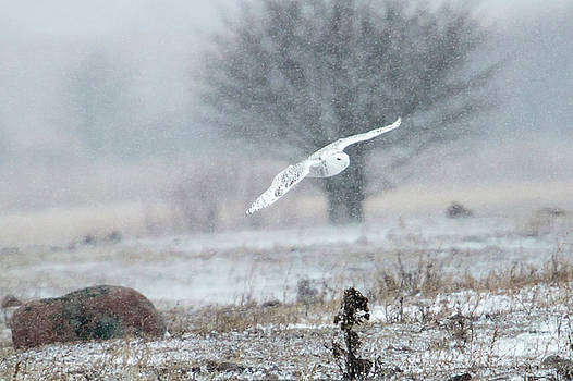 Gary Hall - Snowy Owl in Flight