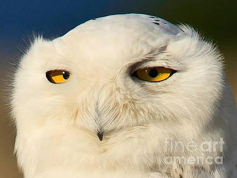 Snowy Owl by Tim Hauf