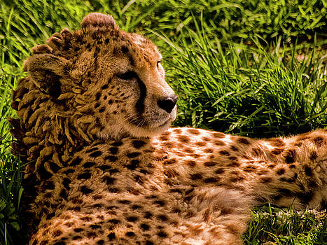 Southern Cheetah by Jay Lethbridge