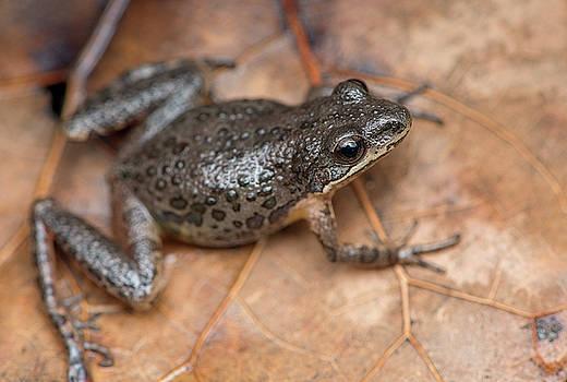 Southern Chorus Frog by Derek Thornton