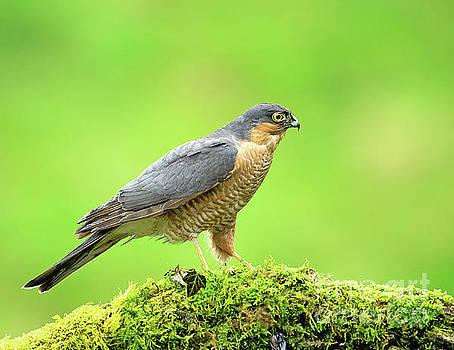 Sparrowhawk by Paul Scoullar