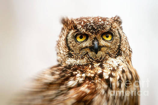 Spotted eagle-owl  by Nick Biemans
