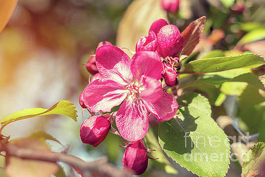 Spring background art with pink apple blossom by Victoria Kondysenko