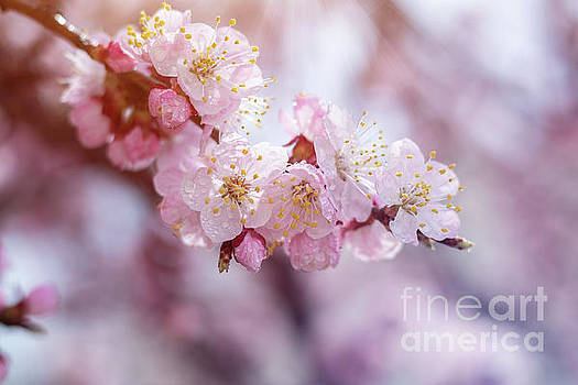 Spring background art with pink blossom by Victoria Kondysenko