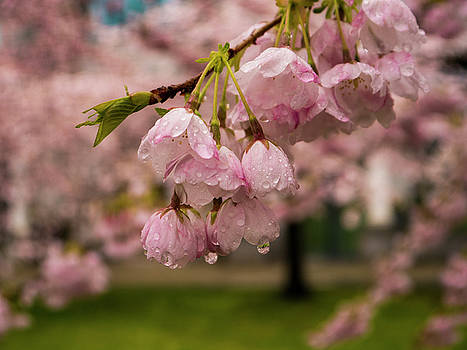 Spring Blossoms by Rae Tucker