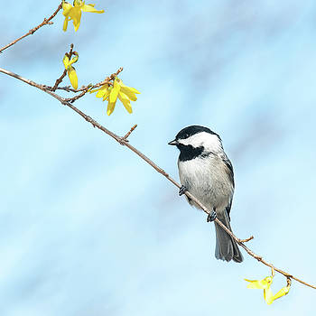 Spring Chickadee by Lara Ellis
