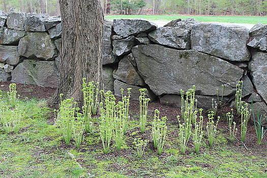 Spring Ferns by Paul Meinerth