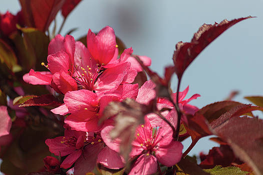 Spring Pink by Suzanne Gaff