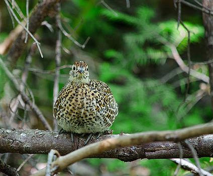 Spruce Grouse by James Petersen