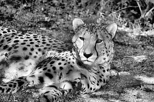 Staring Cheetah  by Diamond Jade
