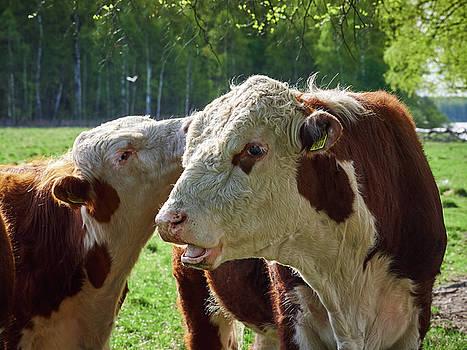 Steer brothers by Jouko Lehto
