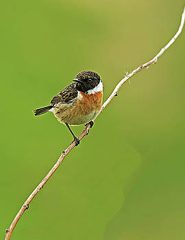 Stonechat by Paul Scoullar