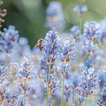 Summer Lavender by Hannes Cmarits