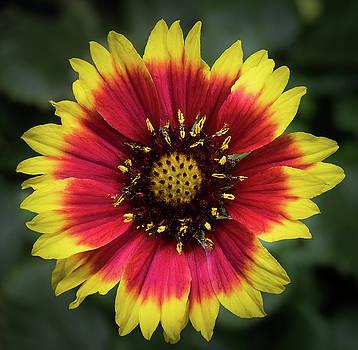 Sunflower by Ed Clark