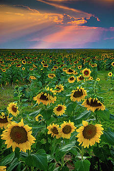 John De Bord - Sunflowers and Sunrays