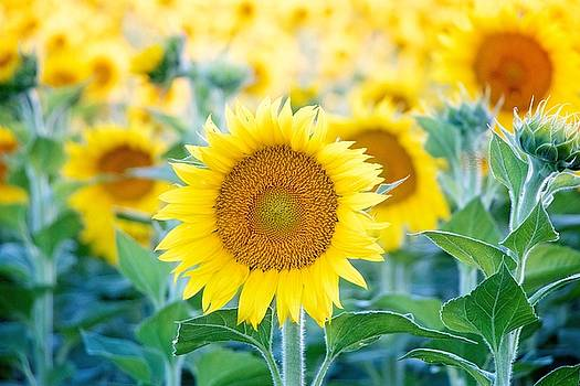 Sunflowers by Carol Welsh