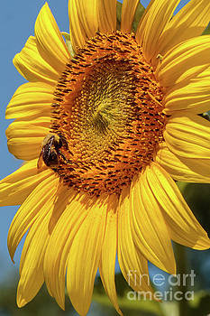Sunflowers in Bloom by Thomas Marchessault