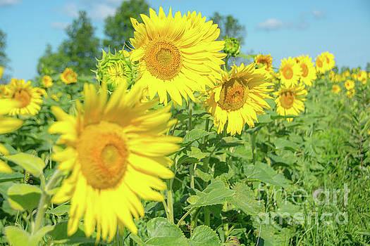 Sunny Sunflowers by Cheryl Baxter