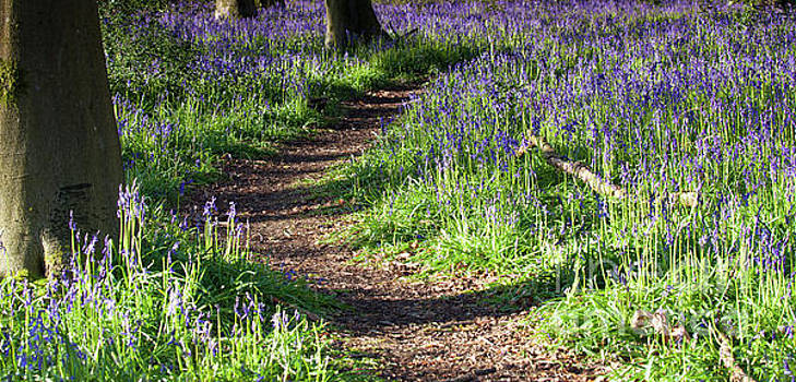 Sunrise path through bluebell woods by Simon Bratt Photography LRPS