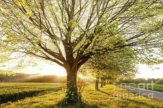 Sunset through a line of rural trees by Simon Bratt Photography LRPS