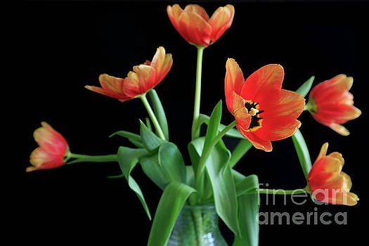 Sunshine Tulips by Tracy Hall