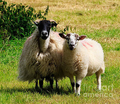 Swaledale sheep with lamb by Louise Heusinkveld