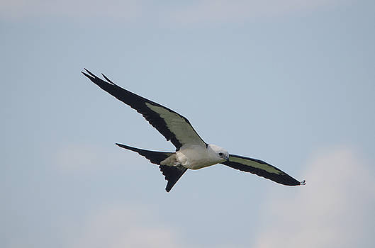 Swallow-tailed Kite by James Petersen