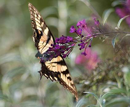 Swallowtail Butterfly by Giovanna Carrascosa