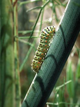 Swallowtail Caterpillar by Meir Ezrachi