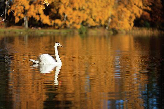 Swan on a lake by Teemu Tretjakov