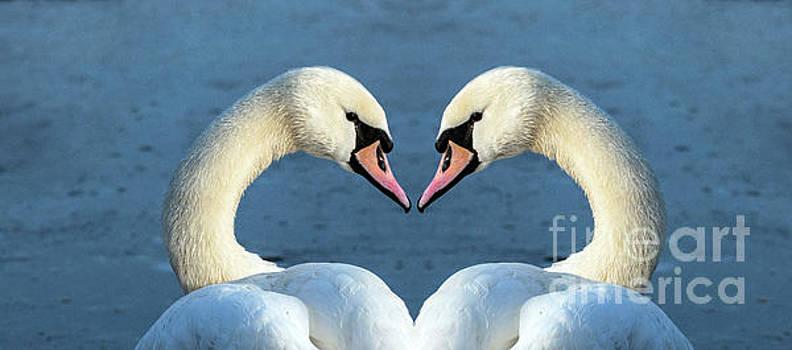 Swans portrait by Odon Czintos
