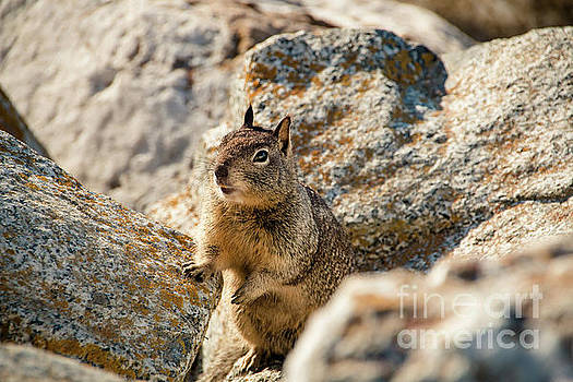 Sweet Curious California Ground Squirrel, Animal In California by Amanda Mohler