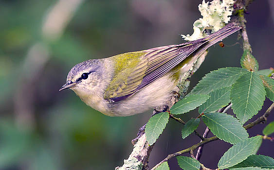 Tennessee Warbler by Jim E Johnson